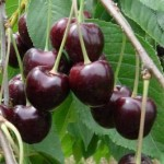 ciliegia-moretta
